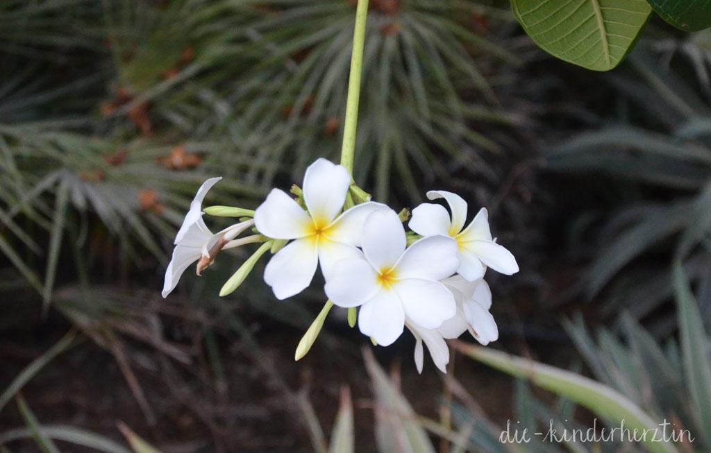 Dubai Orchidee