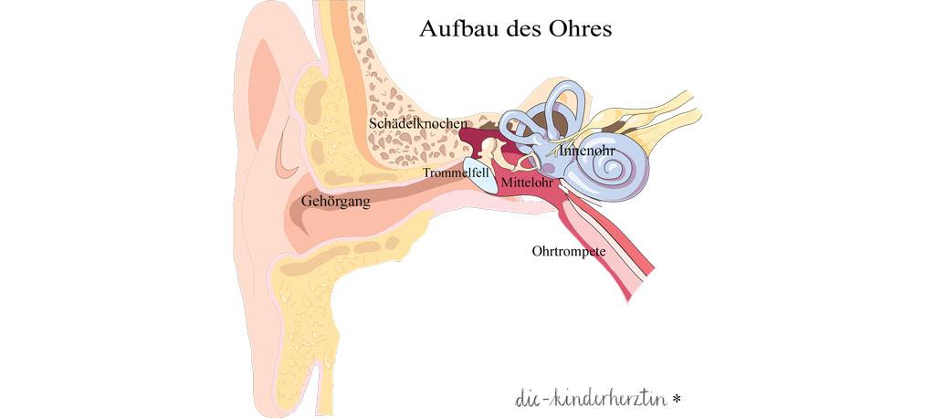 anatomischer Aufbau des Ohres Übersicht