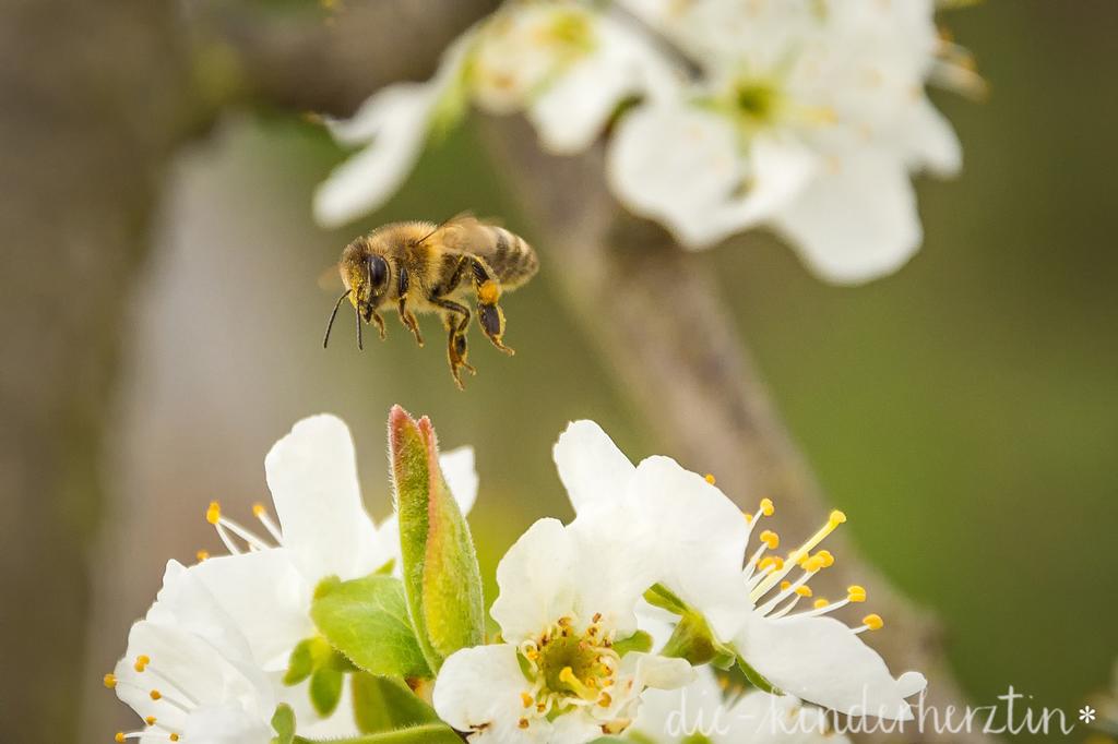 Biene, die nach Blütenpollen sucht und eine Blüte anfliegt